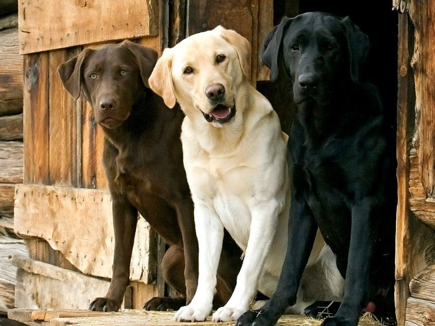 b_0_650_00___images_dogs_labrador-retriver-1.jpg