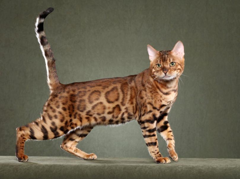 кошка сафари фото