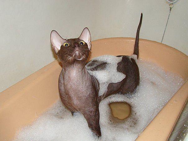 Купание котов в ванной