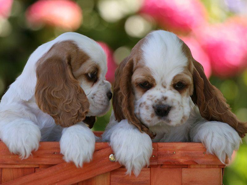 Если вы остановили свой выбор именно на этой породе собак, мы не будем вас отговаривать