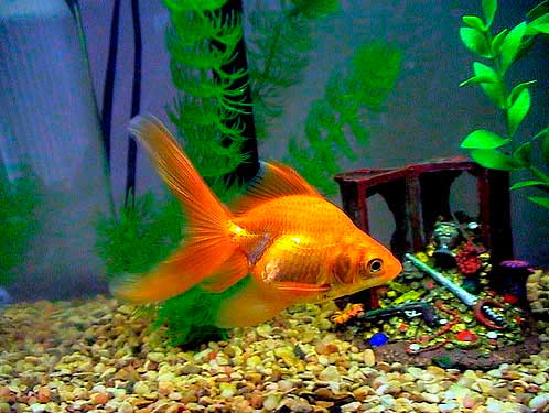 goldfish-aquarim.jpg