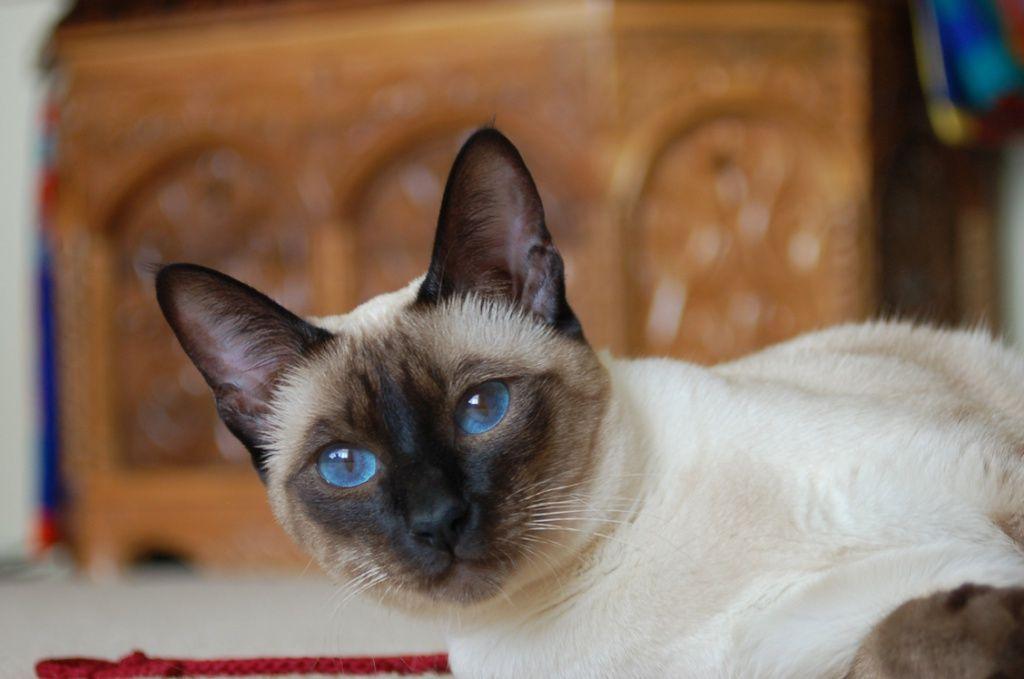 Клуб тайской кошки в москве ростов на дону стриптиз бар провинция